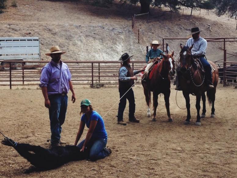 Aaron Lazanoff cattle work 2