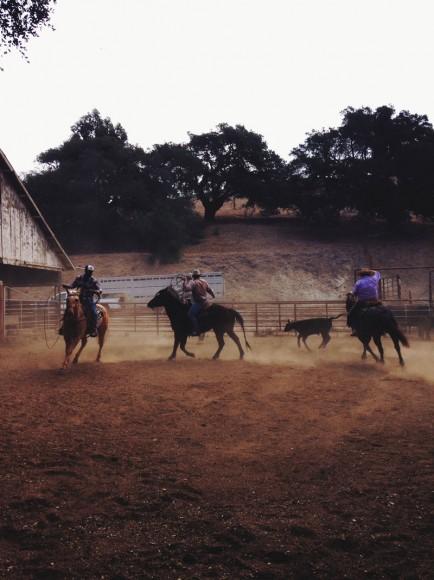 Aaron Lazanoff cattle work 3