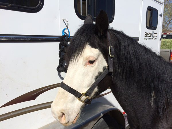 Domino Modeling Equi-Ping on trailer
