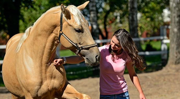 palomino horse in training