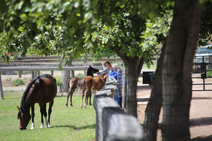 Varian Arabians Hands On Clinic Guests Visiting Foals