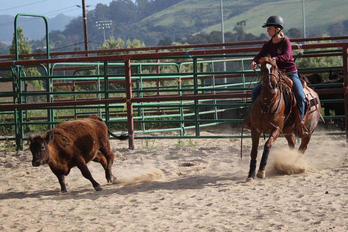 Natalie works a cow during class at the Cal Poly Equine Center