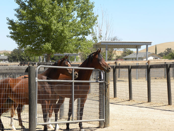Two Arabian horses for sale.