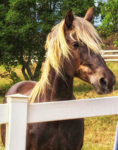 Wendy Conduc's horse 'Rocky' at Home.