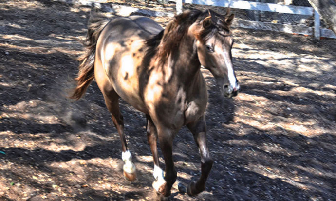 Stormy Rocky Mountain Horse
