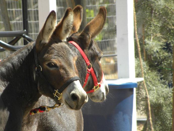 The Mini-donkeys - So cute!