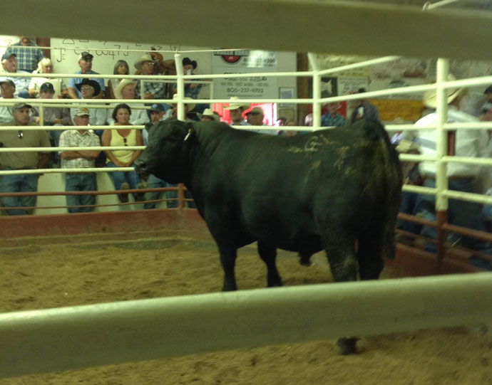 Champion-Bull-from-sale