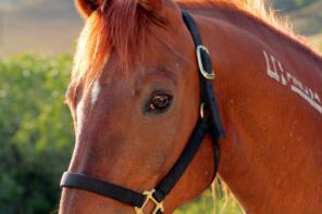 Cal Poly's Real, Live, Mustang Mascot