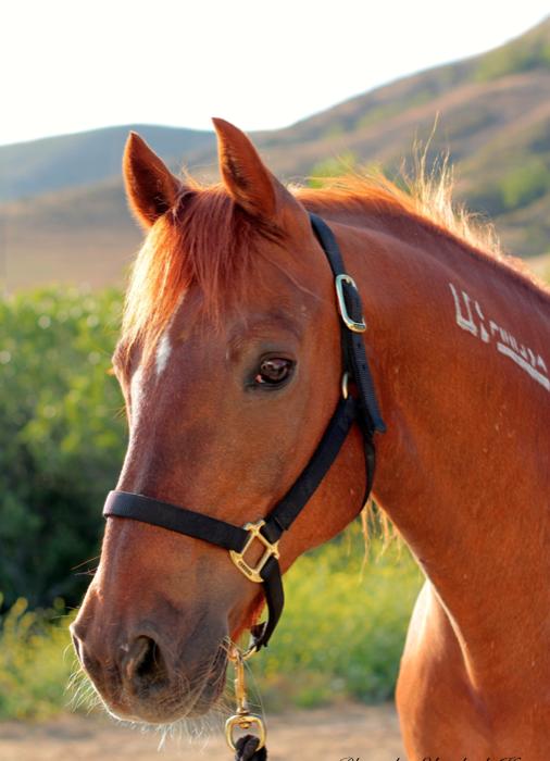 Cal Poly S Real Live Mustang Mascot Slo Horse News
