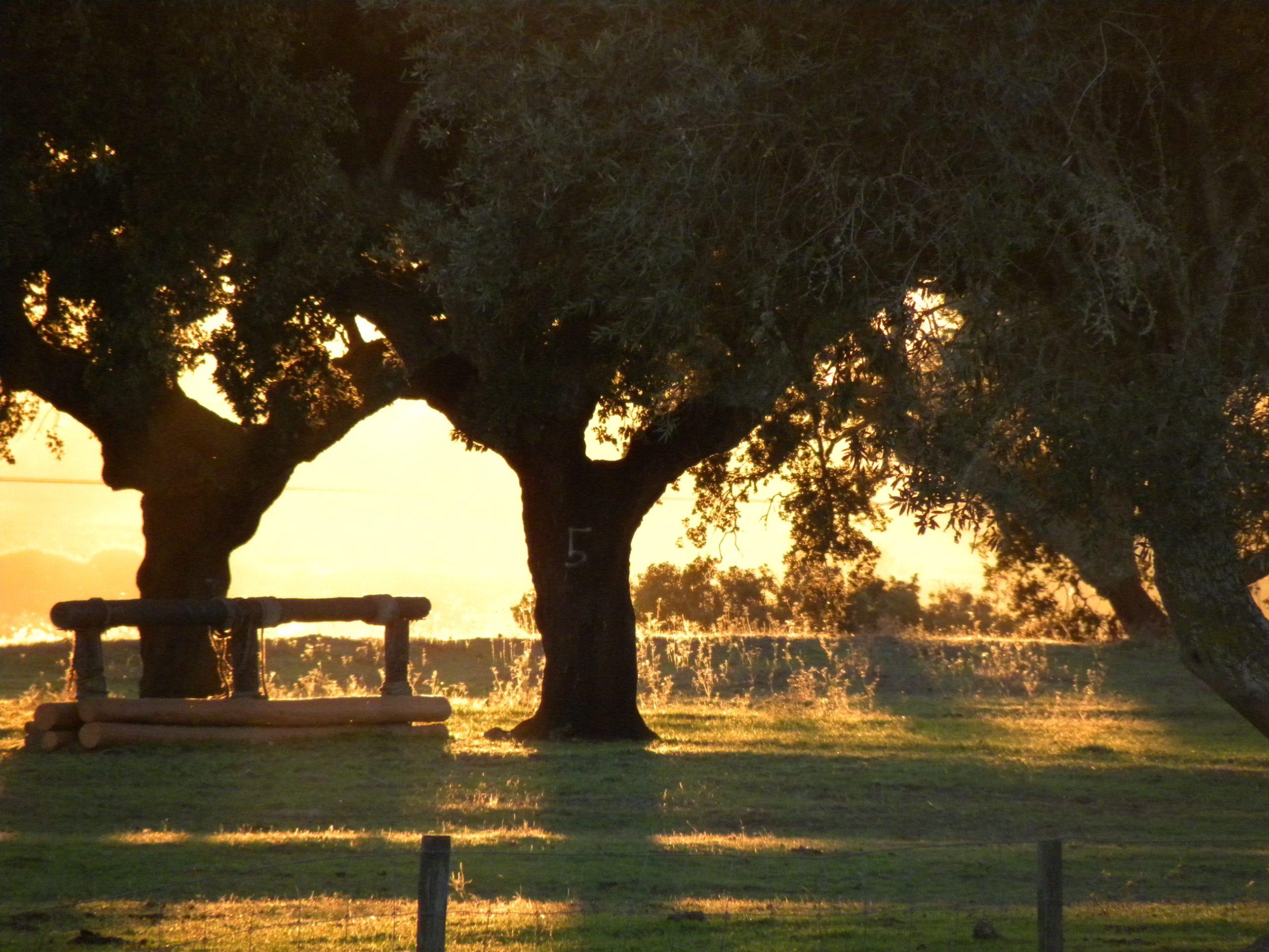 cork-trees-at-sunset