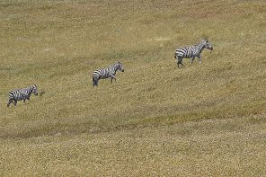 Seeing Stripes – The Secret Band of Central Coast Zebras