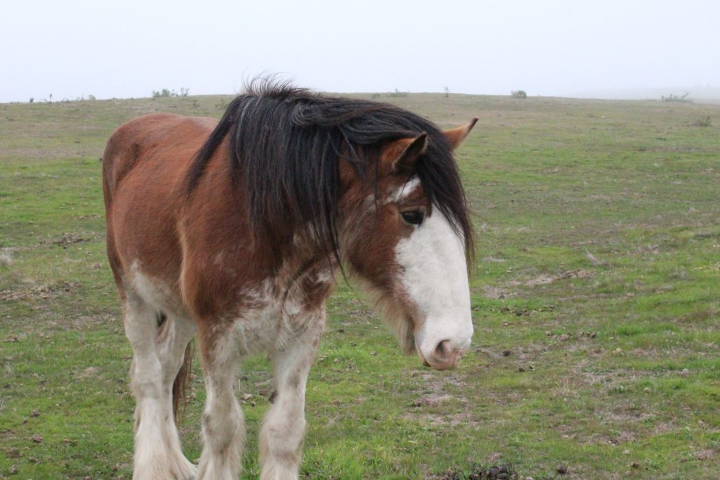 Sharing the Love of Horses at Covell's California Clydesdales Ranch | SLO Horse News