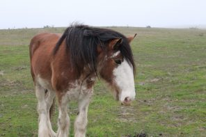 Sharing the Love of Horses at Covell's California Clydesdales Ranch
