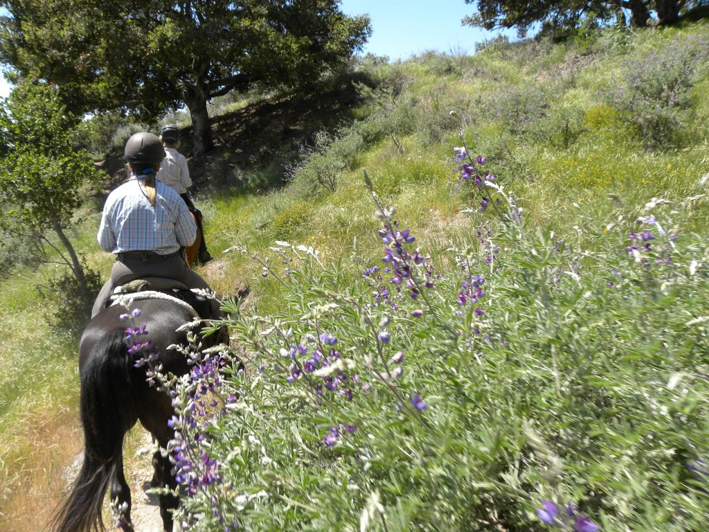 Riding Through Fields of Gold on the Pismo Preserve | SLO Horse News