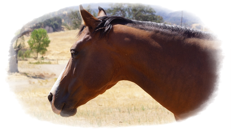 Lost Horse – What Can You Do to Get Your Horse Home Safely? | SLO Horse News