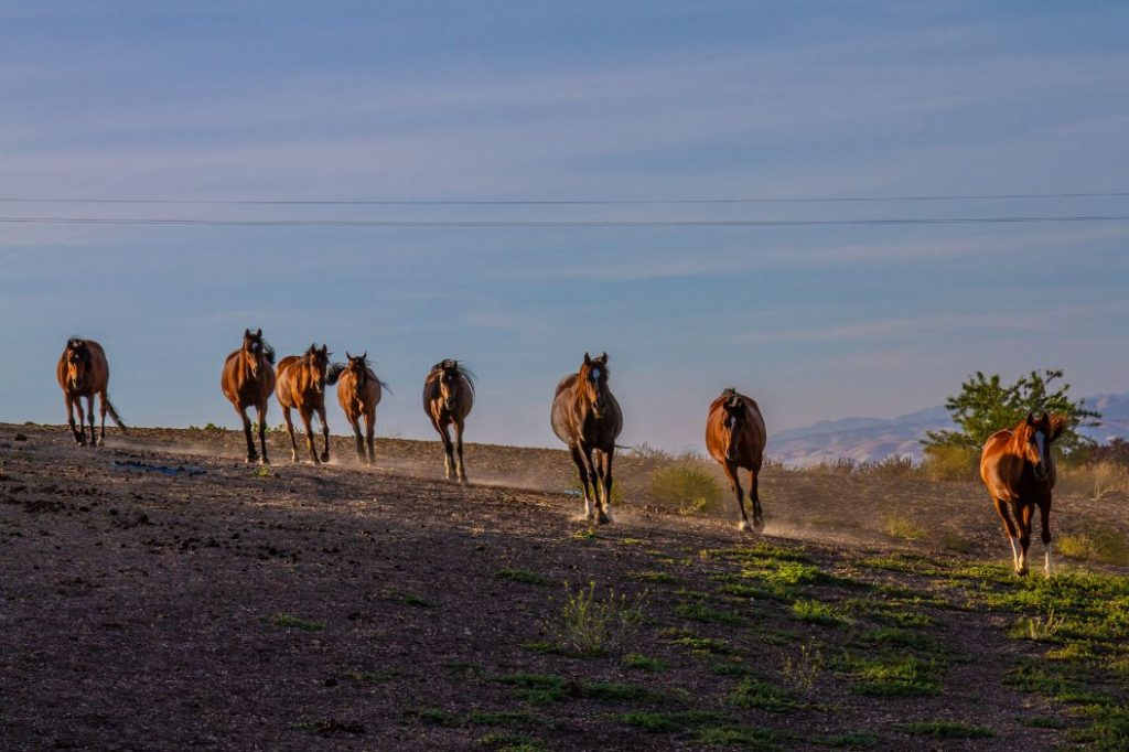 30 Plus Arabian Horses Available for Adoption   SLO Horse News