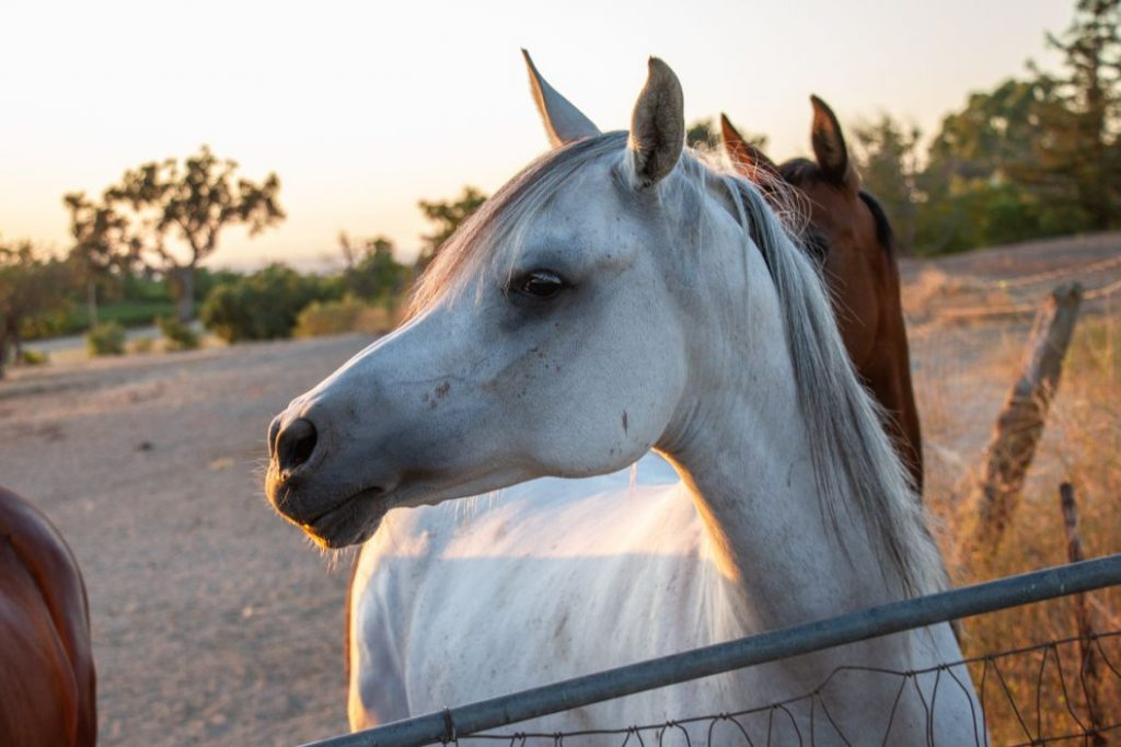 30 Plus Arabian Horses Available for Adoption | SLO Horse News